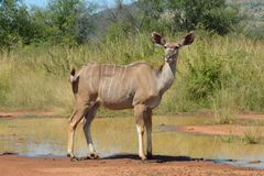 Veau de Kudu Image libre de droits