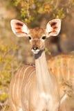 Veau de Kudu Photographie stock libre de droits