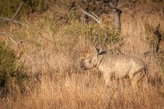 Veau de rhinocéros Photo libre de droits