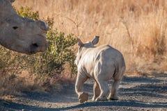 Veau de rhinocéros Photos libres de droits