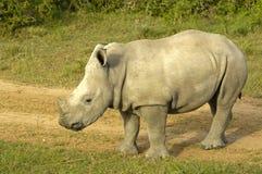 Veau de rhinocéros Photographie stock libre de droits