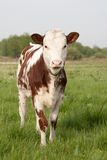 Veau de vache Images libres de droits