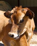 Veau de vache Photo stock