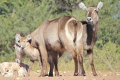 Veau de Waterbuck - faune d'Afrique - amour animal de maman Photos stock