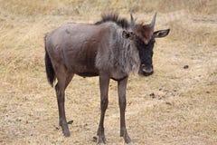 Veau de Wildebeest Images libres de droits