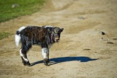 Veau de yaks Photo stock