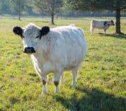 Veau des montagnes écossais de vache photographie stock libre de droits