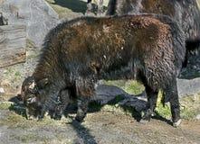 Veau domestique de yaks Photo stock