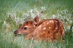 Veau doux d'élans de bébé se cachant dans le pâturage herbeux photos stock
