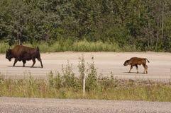 Veau et mère de bison Photos stock