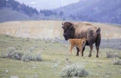Veau et mère rouges de bison de chien sur la prairie ouverte d'armoise Images libres de droits