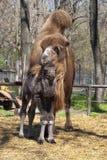 Veau et mère de chameau Photo stock