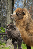 Veau et mère de chameau Photographie stock