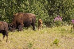Veau et troupeau de bison Photo stock