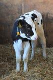 veau frison Photos stock