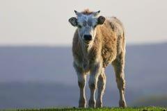 Veau gris hongrois de bétail Photographie stock