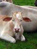 Veau indien de vache Images stock