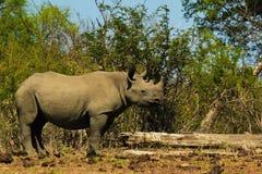 Veau noir de rhinocéros Image libre de droits