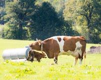 Veau nouveau-né avec la vache à mère Photos stock