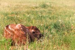Veau nouveau-né d'élans se cachant dans l'herbe images libres de droits