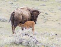 Veau rouge de bison de chien alimentant sur la mère sur la prairie ouverte d'armoise Images stock
