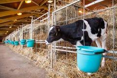 Veau se tenant dans une cage Photo libre de droits
