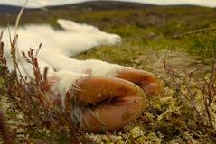 Veau somnolent de renne en Ecosse Images libres de droits