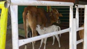 Veau suçant le lait de la mamelle du ` s de maman banque de vidéos