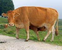 Veau tout en buvant du lait de la mamelle de la vache Photographie stock libre de droits