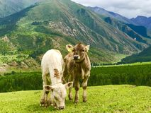Veaux dans Karakol, Kirghizistan photo stock
