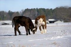 Veaux dans la neige Images stock