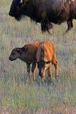 veaux de bison images stock