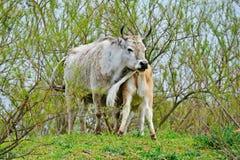 Veaux de vache Images libres de droits