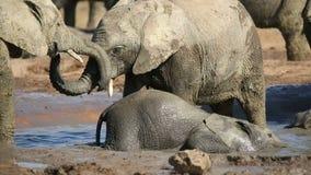 Veaux espiègles d'éléphant africain banque de vidéos