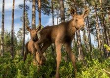 Veaux jumeaux de l'alces deux européens d'Alces d'élans dans des buissons de myrtille Photographie stock