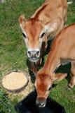 Veaux mangeant et buvant. Image stock