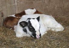 Veaux nouveau-nés dans la grange de la ferme Photos stock