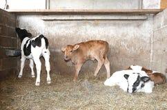 Veaux nouveau-nés dans la grange de la ferme Photographie stock libre de droits