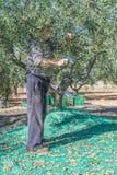 Vecchi agricoltore ed olive Fotografia Stock Libera da Diritti