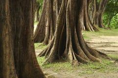 Vecchi alberi Fotografia Stock
