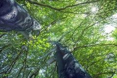 Vecchi alberi Fotografie Stock