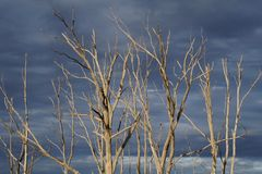 Vecchi alberi asciutti da Epecuen Immagine Stock Libera da Diritti