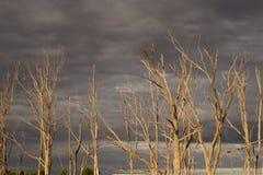 Vecchi alberi asciutti da Epecuen Fotografia Stock Libera da Diritti