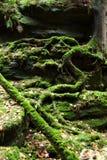 Vecchi alberi con muschio in foresta Fotografie Stock Libere da Diritti
