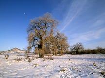 Vecchi alberi del cottonwood in inverno Immagine Stock
