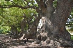 Vecchi alberi di canfora Immagine Stock
