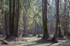 Vecchi alberi di ontano davanti alla foresta di primavera Immagini Stock Libere da Diritti