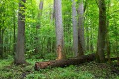 Vecchi alberi di ontano della foresta di Bialowieza Fotografia Stock