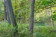 Vecchi alberi di ontano nel supporto deciduo autunnale Fotografie Stock Libere da Diritti