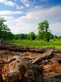 Vecchi alberi di quercia Immagini Stock Libere da Diritti